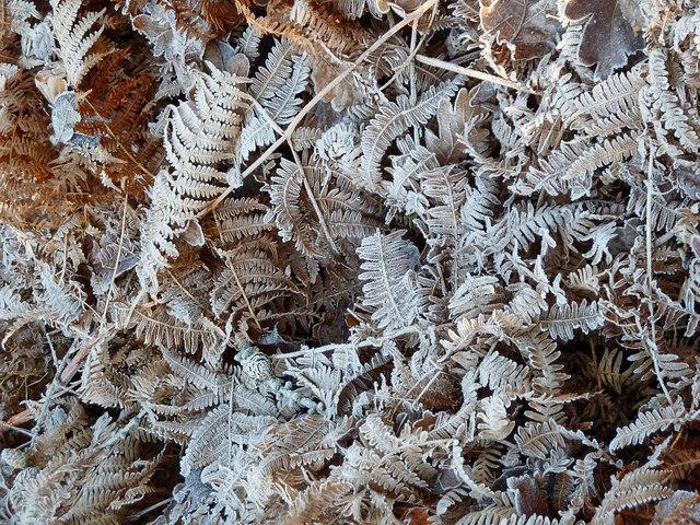 Frosted bracken in Pavis Wood