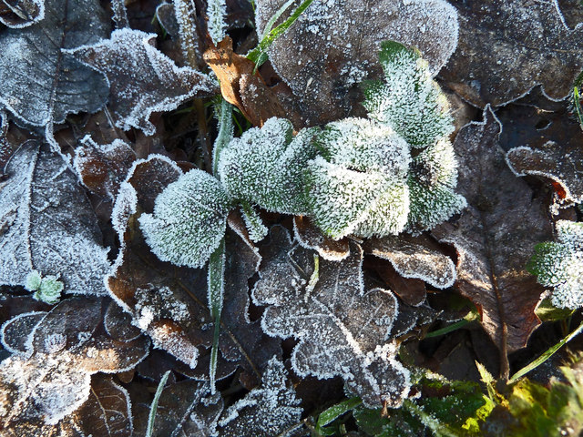 Frosted leaves, Pavis Wood