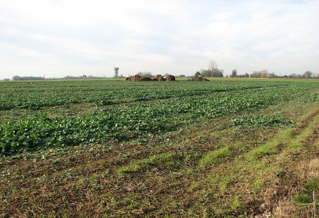 Oilseed rape crop by Moat Farm