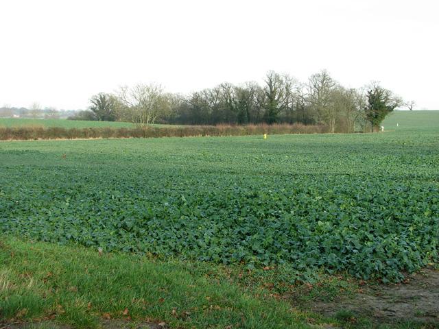 Oilseed rape crop by Fisk's Farm
