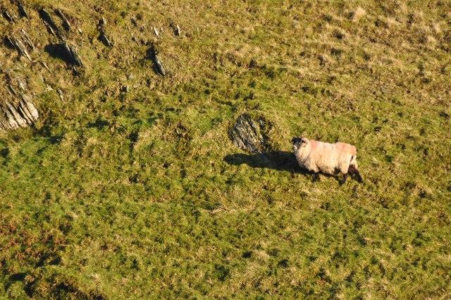 Exmoor : A Sheep