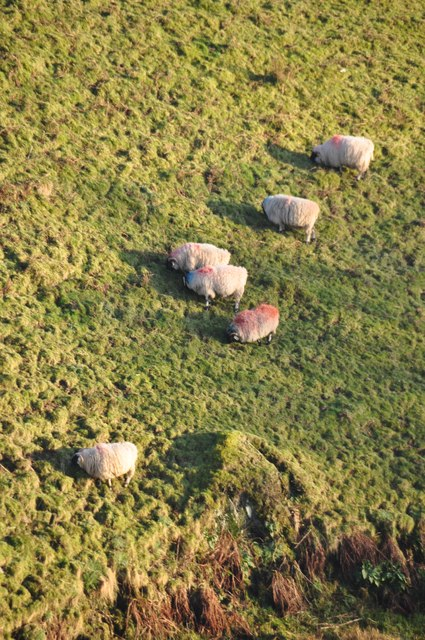 Exmoor : Sheep Grazing