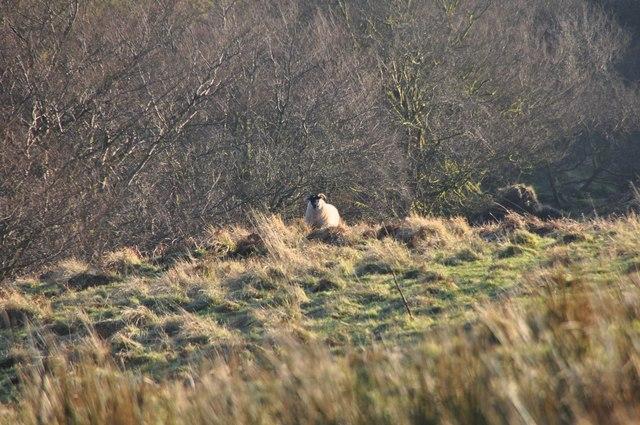 Exmoor : Moorland & Sheep