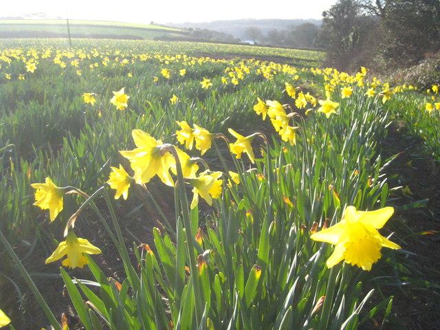 Daffodils at Nansidwell