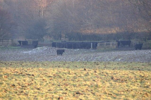 Exmoor : Cows Grazing