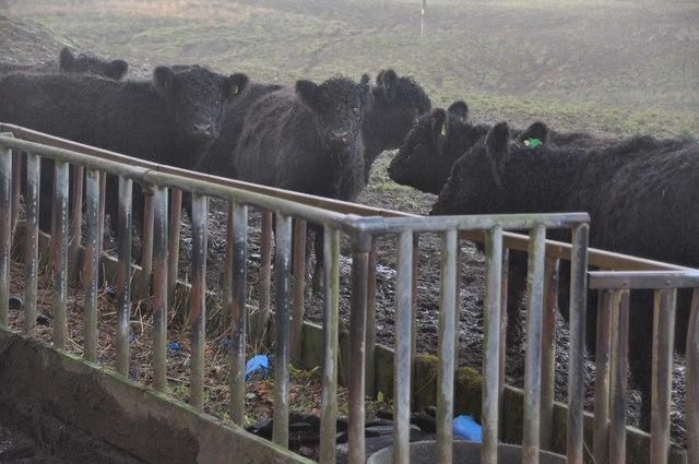 Exmoor : Galloway Cattle