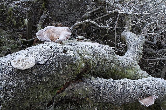 A fallen tree at Hawkshaw Cleuch