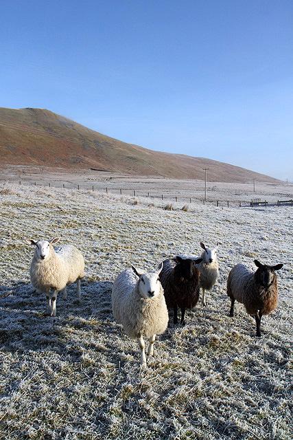 Sheep at Dryhope
