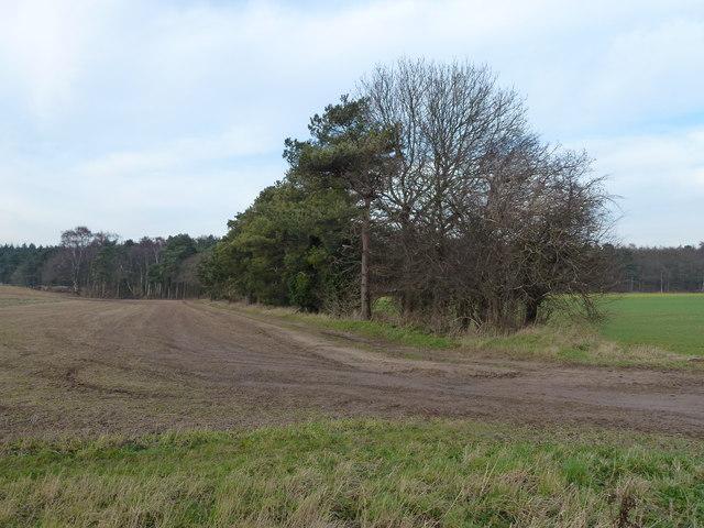 Tree belt near Grimston Carr