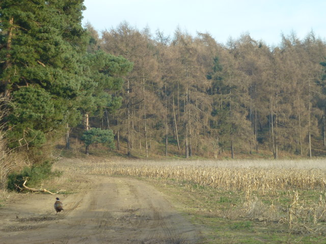 Pheasant near Stonepit Hills