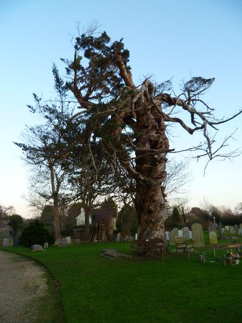 Strange old tree in Birdham churchyard