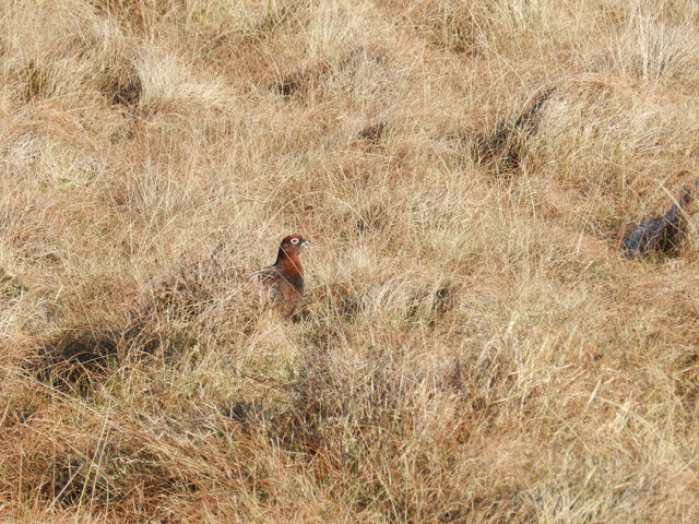 Red Grouse on Middle Moor
