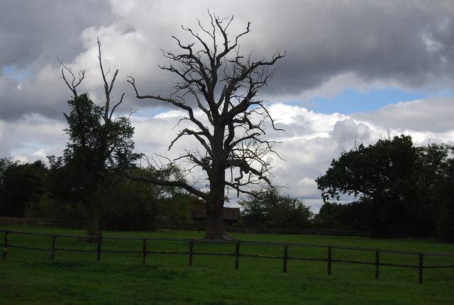 Dead tree, Claydon Hall