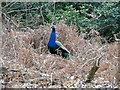 SZ0287 : Peacock, Brownsea Island by Maigheach-gheal