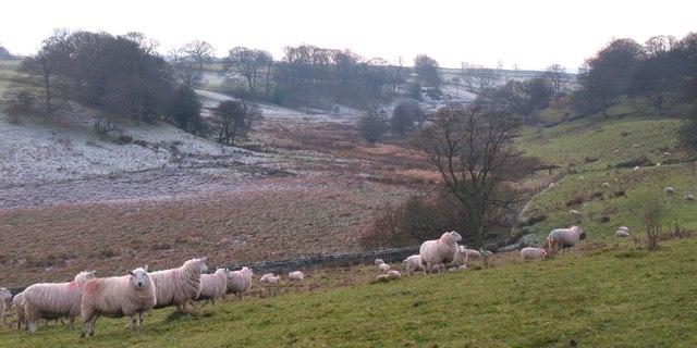 Sheep pasture near Trees House
