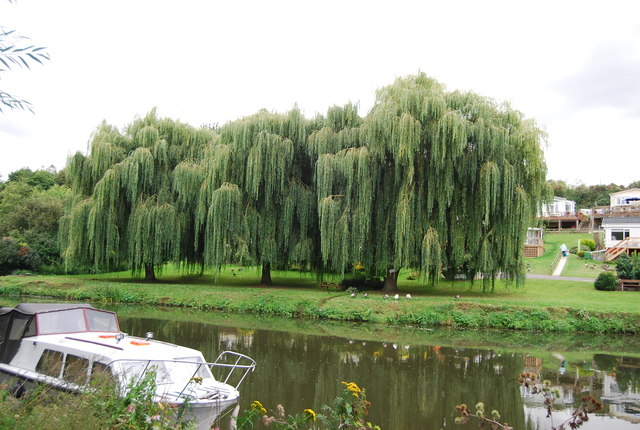 Weeping Willows by the River Medway