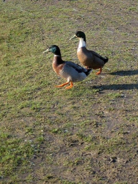 Mallards at Newlands