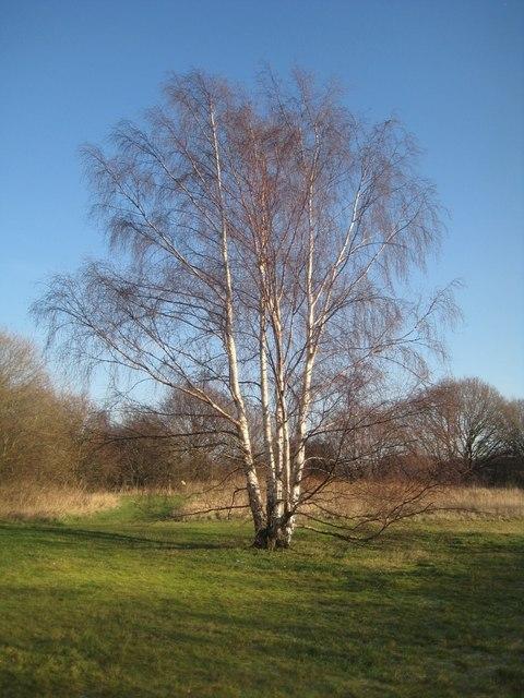 Silver Birch, Stanley Ferry