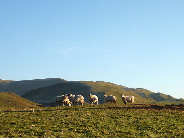 Sheep near Rake Beck