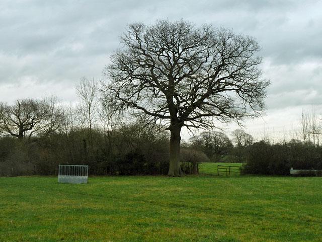 Hedgerow tree near footpath SR512