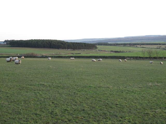 Pastures and plantation around Branshaw Burn