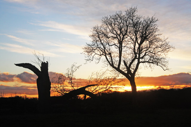 Dead oak and living oak silhouetted in the sunset
