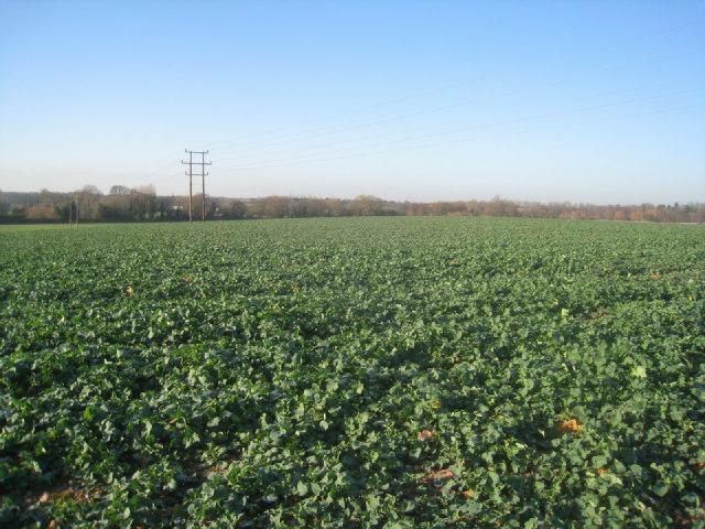 Winter crop - Potbridge Farm