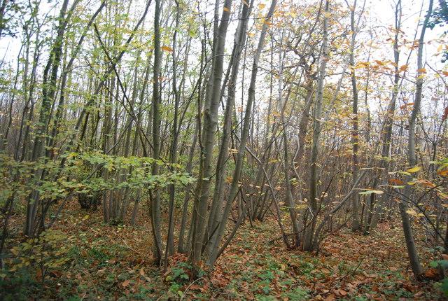 Coppicing, East Blean Wood