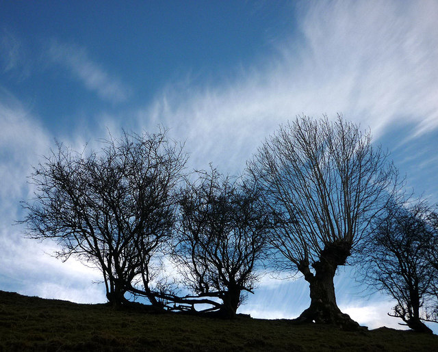 Pollarded trees by the Dales Way