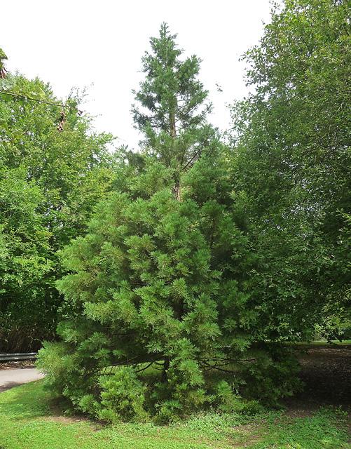 Coniferous tree near East Stratton (1)