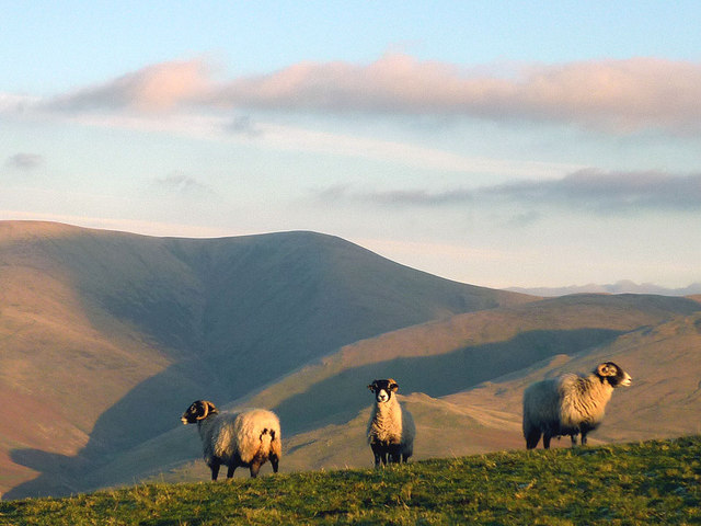 Swaledale sheep and the Howgill Fells