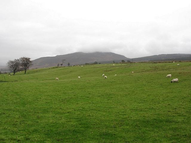Sheep, Bridgend
