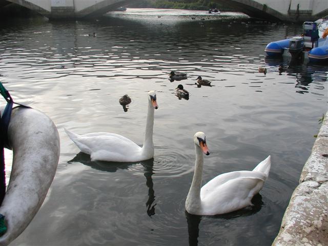 Inquisitive swans, Wareham