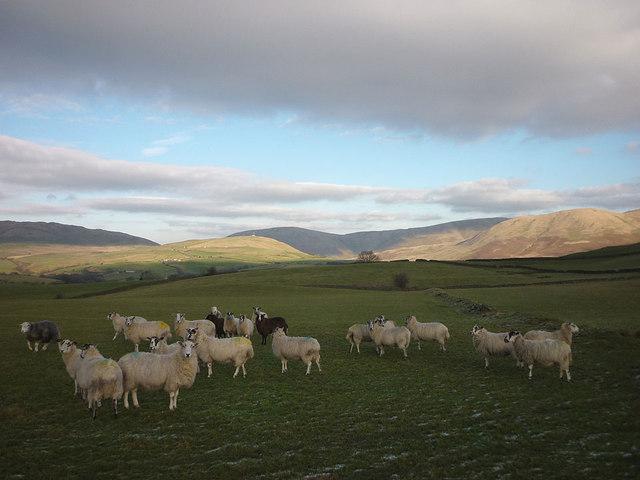 A variety of sheep