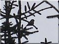 NY7574 : Crossbill in Wark Forest by Les Hull