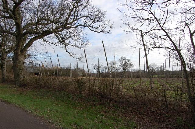 Hop field at Wagstaff Farm