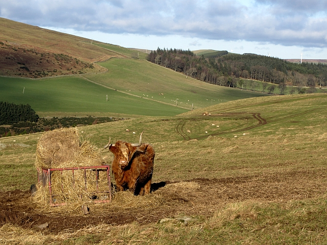 Highland cow on Meigle Hill