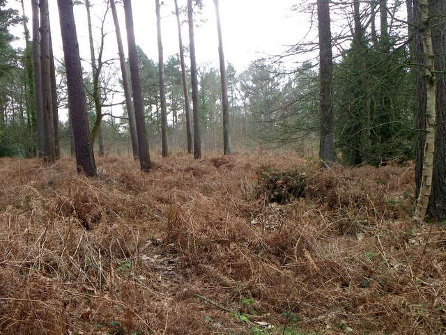 Bracken, Godshill Wood