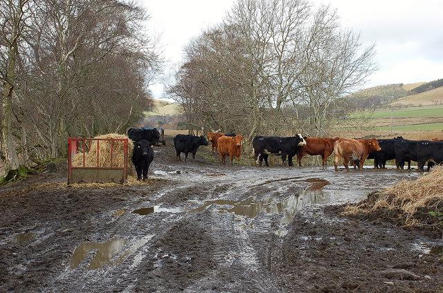 Cows on the line, Dreva