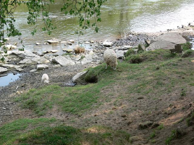 Sheep along the River Severn