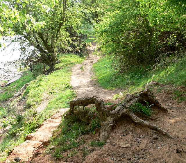 Gnarled roots on the Severn Way