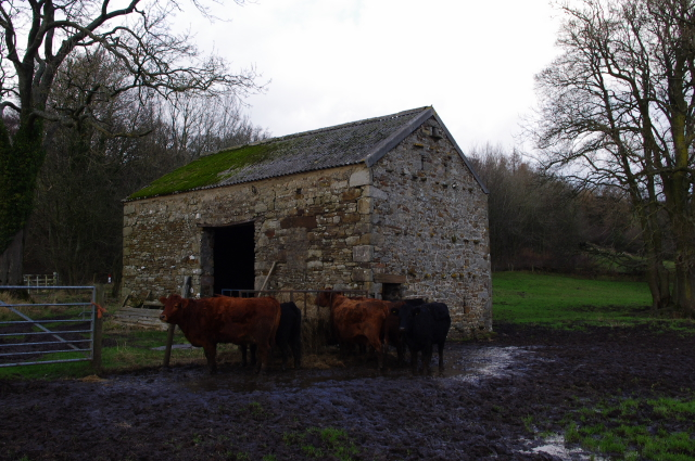 Cattle and barn, Aughton Barns