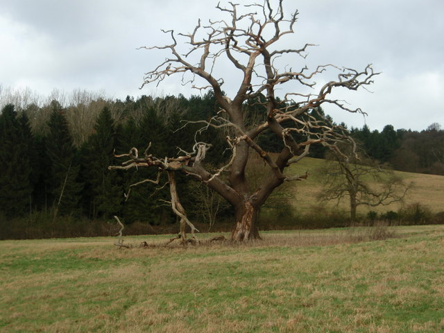Dead tree in landscape near Woburn