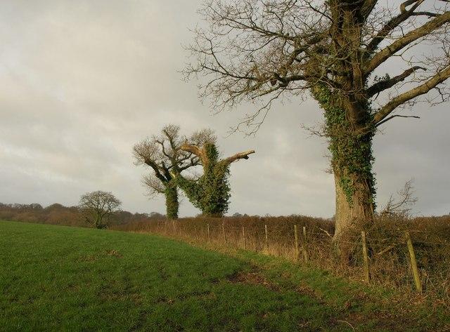 Field boundary trees near Hayes Barton
