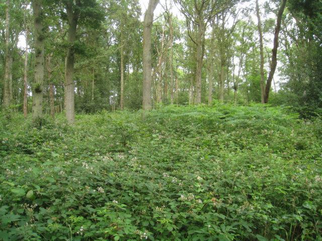 Thick undergrowth - Black Wood