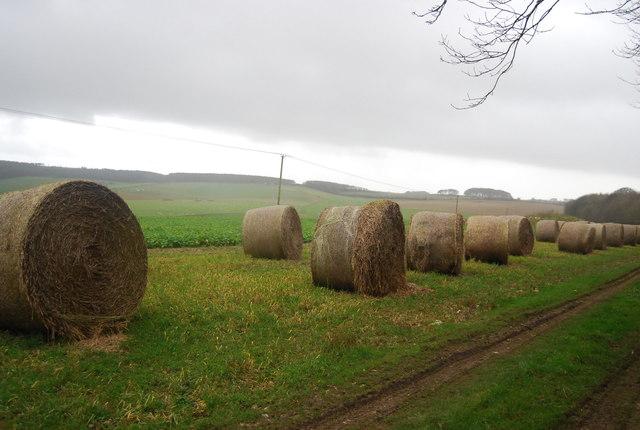Straw bales lining a turnip field