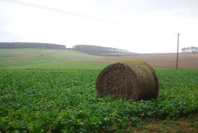 Bale in a turnip field