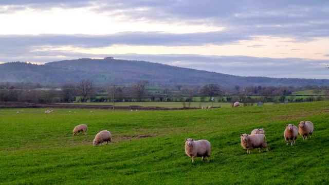 Sheep and May Hill