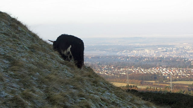 Highland bull, Pentland Hills