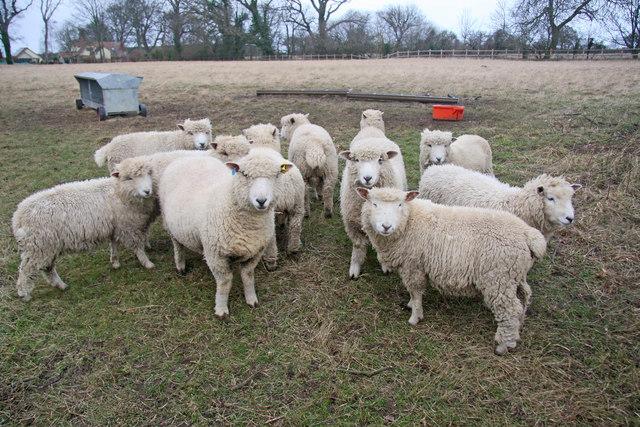 Flock of Ryedale sheep